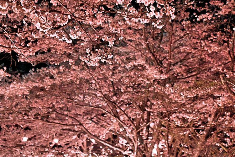 桜の中で Full Frame