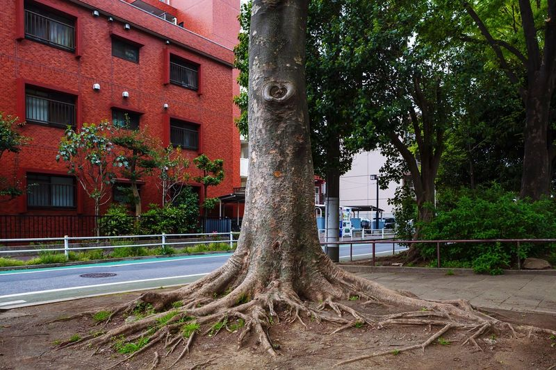 Roadside Park Proud Confident  Aloof Standing Towering Dignity Roots Bark Texture Life Vitality Strong Powerful Tree Plant Nature Day Growth No People City Tree Trunk Trunk Green Color