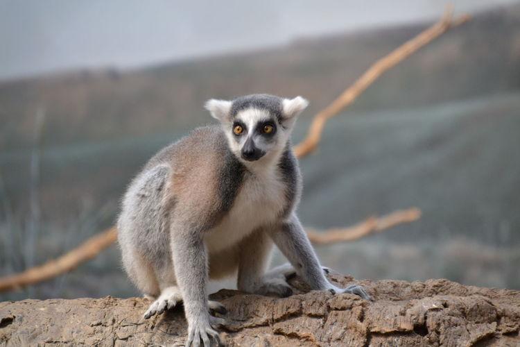 Close-up of lemur resting on wall