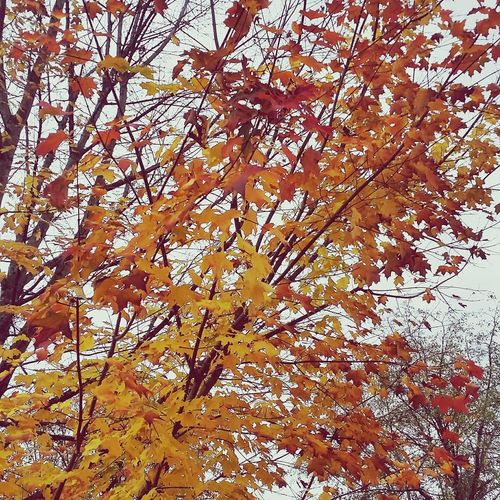 Nature Beauty In Nature Outdoors Tree Autumn Leaves Autumn Leaves Colorful Orange Yellow
