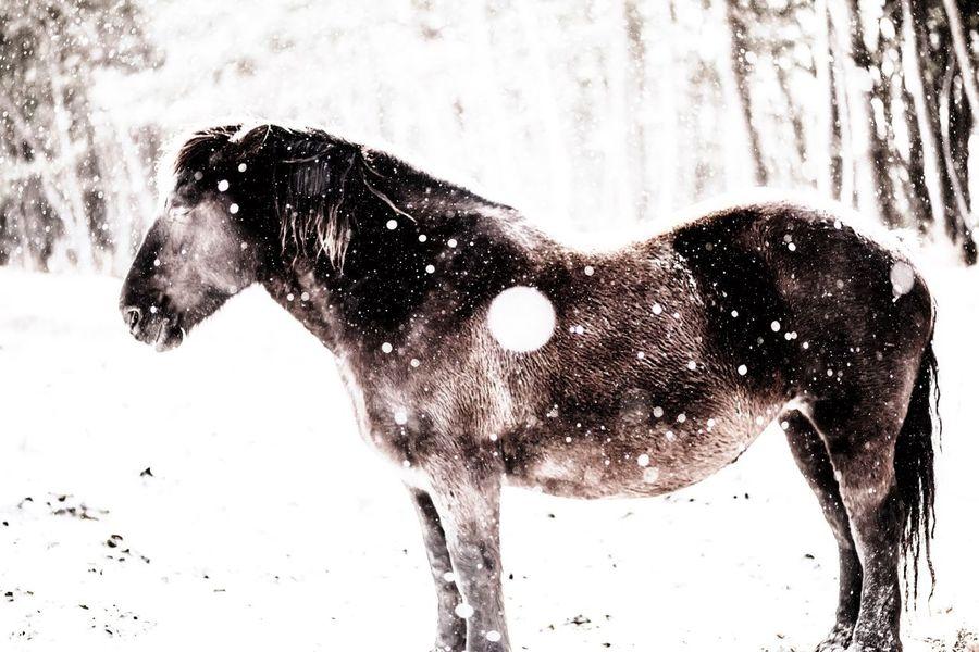 Horse Kandachime Snow Snowfall Standing Withstanding Aomori Japan Canon5Dmk3