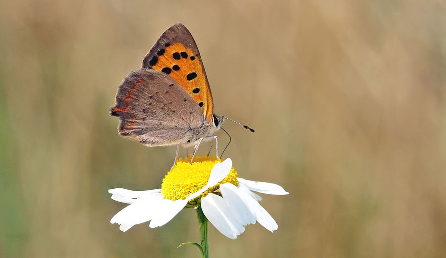 Close-up of butterfly pollinating on white daisy