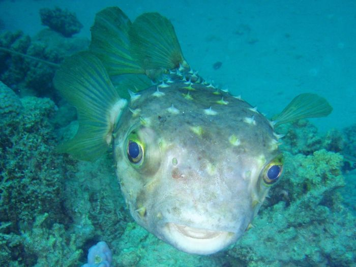 Burrfish Red Sea Diving Animal Themes Burrfishes Close-up Fish Looking At Camera No People One Animal Sea Sea Life Swimming UnderSea Underwater