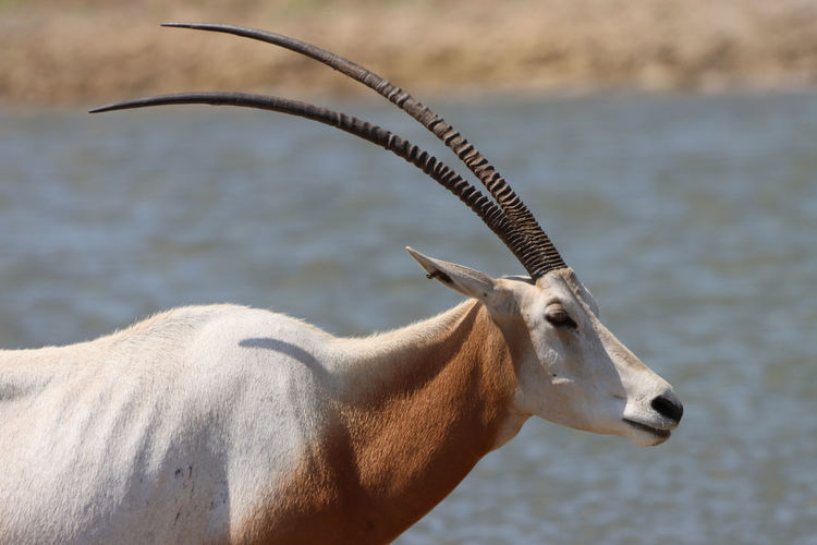 Scimitar horned oryx by water side view head close-up