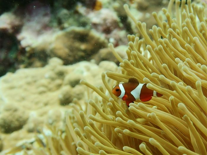 Close-up of clownfish and sea anemone undersea