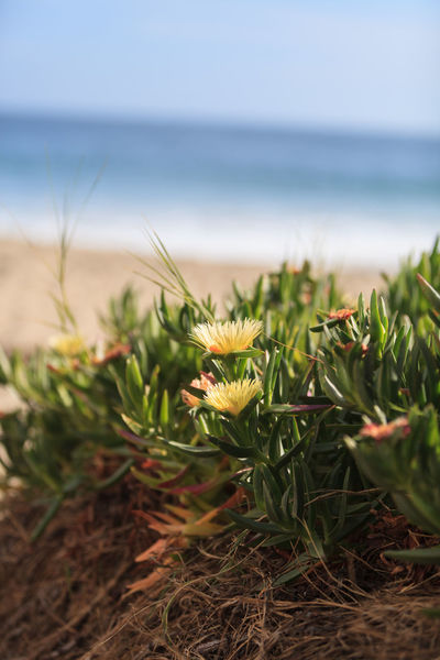 Ice plant succulent, Carpobrotus edulis, creeping ground cover on beach sand in the spring in Southern California with the ocean in the background Background Beach Beauty In Nature Carpobrotus Edulis Close-up Day Growth ICE PLANT Nature No People Ocean Outdoors Plant Succulents