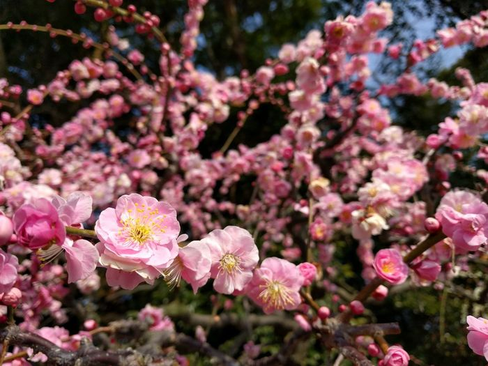 Close-up of plum blossoms tree