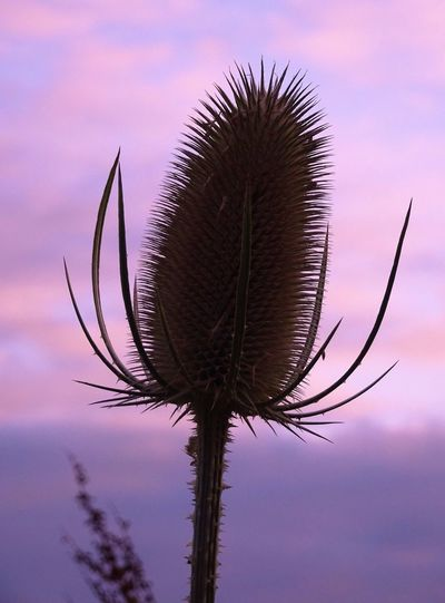 Teasle Nature Plant Sky Sunset Silhouette Purple Pink Clouds Beauty In Nature Outdoors No People