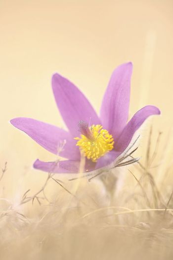 Beauty In Nature Close-up Crocus Flower Flower Head Flowering Plant Fragility Freshness Growth Inflorescence Nature No People Outdoors Petal Plant Purple Selective Focus Studio Shot Vulnerability  Yellow