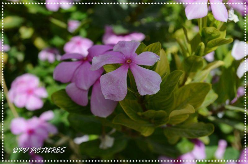 Picspv Nikonphotography Nikon D5100  Bikaner Flower Nature