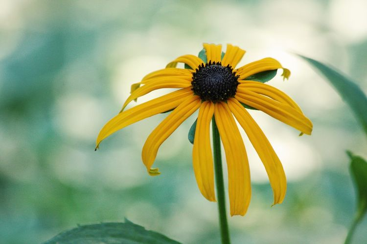 Close-Up Of Black-Eyed Susan Blooming At Park