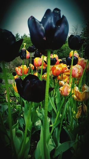 Tulips Flower Garden Nature