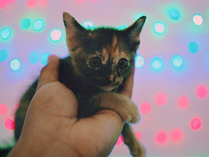 Thai Cat Human Hand One Person Hand Human Body Part One Animal Cat Domestic Animals Pets Domestic Pet Owner Indoors  Domestic Cat