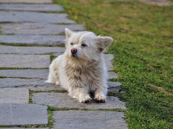 Portrait of white dog on footpath
