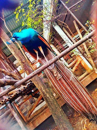 Peacock Bird Bird Photography Animal Photography Peacock Photo Peacock In The Zoo Bird In The Zoo Animal In The Zoo Animal One Bird Bird One Animal Peacock
