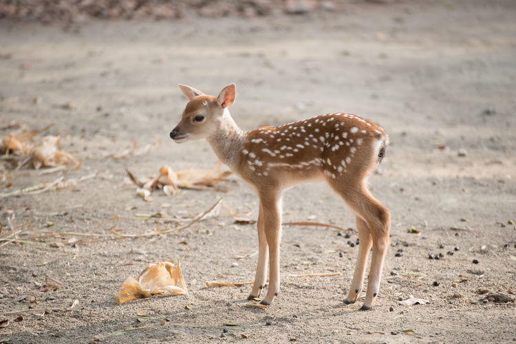 Fawn Animal Deer Little Mammal Nature Wildlife Wildlife & Nature