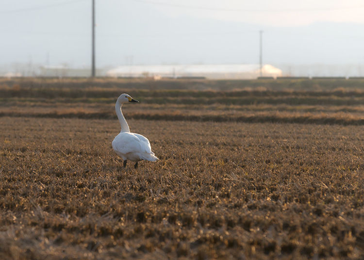 White bird on rice field in winter