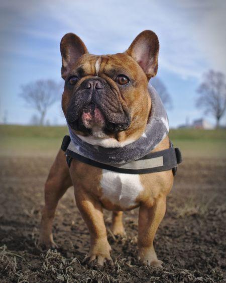 Admiral Pfotengraphie Frenchies Tierfotografie Französischebulldogge Sonya6000 EyeEm Selects EyeEmNewHere Dog Bulldog One Animal Pets French Bulldog Domestic Animals Animal Themes