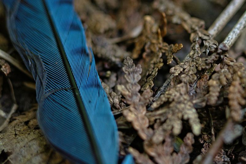 High angle view of peacock
