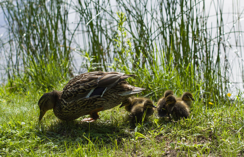 Animal Themes Animal Wildlife Animals In The Wild Animal Grass Young Animal Bird Group Of Animals Plant Vertebrate Young Bird Nature Duck Poultry No People Animal Family Day Duckling Green Color Field Gosling