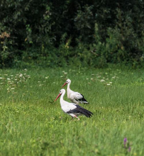 2 Storks on a