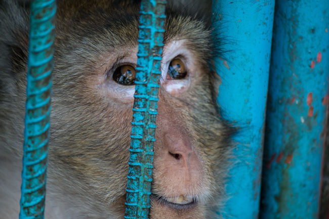Monkey in a cage, looking out through the bars.Animal Eye No People Animal Themes Close-up One Animal Outdoors Mammal Ape Baboon Baboon Portrait Animal Body Part Caged Freedom Emotional Fence Jailed Zoo Mammal