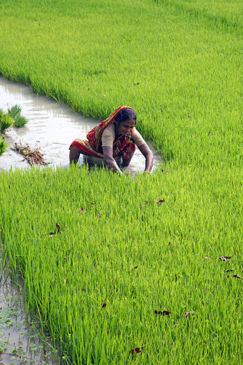 Rural women working in rice plantation in Bosonti, West Bengal, India Agriculture ASIA Bosonti Cereal Countryside Farm Field Food Green Color Growth India Meadow Nature Nature Paddy Palm Plant Rice Rural Tree Tropical Water West Bengal Wet Women