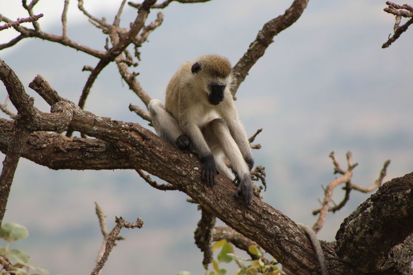 Africa Animal Themes Animals In The Wild Beauty In Nature Branch Butiama, Tanzania Close-up Focus On Foreground Monkey Monkey In Tree Nature Nature One Animal Outdoors Perching Primate Tanzania Tranquility Tree Tree Branch  Tree Trunk Velvet Monkey Vervet Monkey Wildlife Zoology