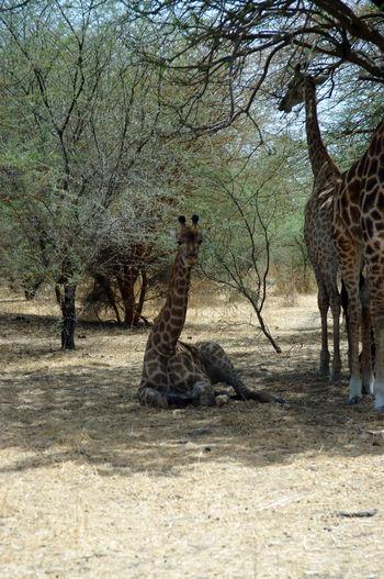 Africa Animal Themes Animal Wildlife Animals In The Wild Baby Animals Bandia Reserve Bare Tree Giraffe Giraffe Mammal Nature Preservation Protectedspecies Safari Safari Animals Senegal Tree Waiting Wild Animal