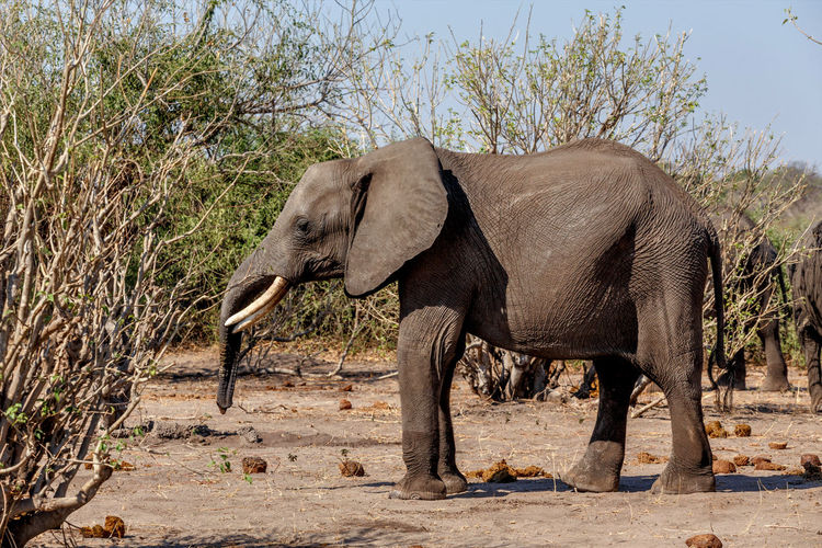 Side view of elephant