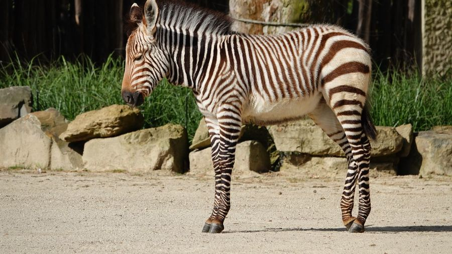 Animal Standing Up Fauna Young Animal Animal Animal Themes Mammal Animal Wildlife Animals In The Wild Animal Markings Vertebrate Zebra One Animal Nature Striped Animals In Captivity Herbivorous No People Sunlight Natural Pattern Field Outdoors Day Zoo