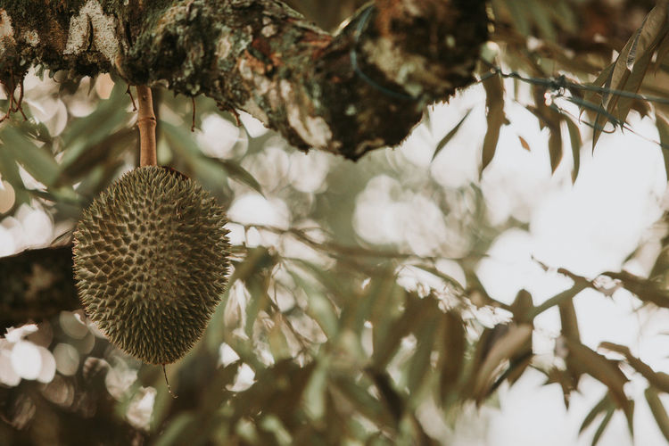 Durian Malaysia Truly Asia Durian Farm Durian Fruit Durian On Tree Durian Tree Malaysia Tropical Fruit