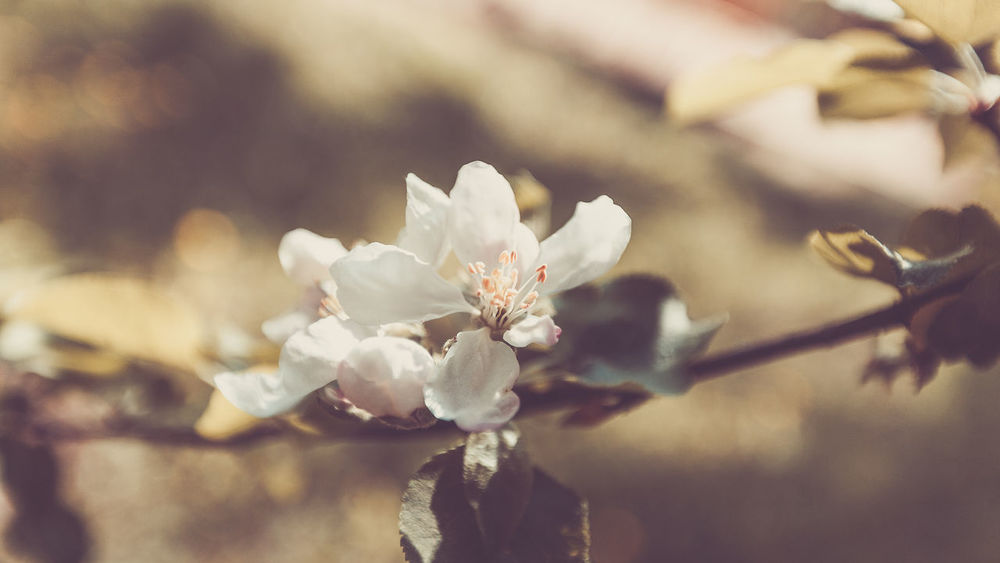 Spring Apple Tree,White Flowers, Sunlight Pastel Toning Apple Macro Photography Nature Background Beauty In Nature Blooming Blossom Close-up Clouse-up Floral Flower Flowers Garden Growth Nature No People Outdoors Pastel Plant Spring Tree White White Color