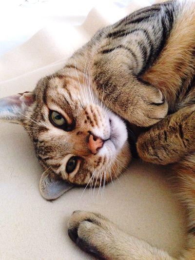All My Photos Taken With IPhone5 Bengal Cat Cat Lovers Cute Cute Pets Archie Cat Creative Light And Shadow IPhone