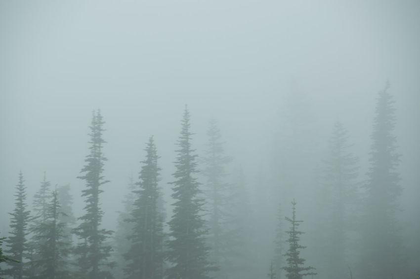 Evergreens Fog Foggy Day Mount Rainier, Washington, Nature, Mountain Mystery MysteryStreetRecordingCompany Summer Trees In Winter Weather