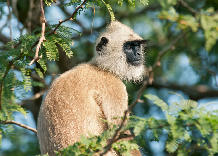 National park Sri Lanka Primate Monkey Monkey Face Langur Animal Wildlife Animals In The Wild One Animal Mammal Plant Vertebrate Nature No People Day Outdoors Animal Themes Tree Branch Focus On Foreground Leaf Plant Part Looking Away Looking Herbivorous Side View National Park Sri Lanka