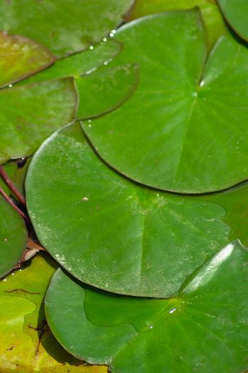 Sea Rose Leaf