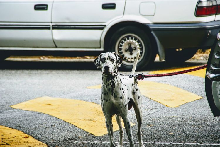 Animal Themes Car Dalmatian Dog Dalmation Day Dog Domestic Animals Land Vehicle Leopard Mammal Mode Of Transport No People One Animal Outdoors Pets Road Spotted Standing Transportation Welcome To Black