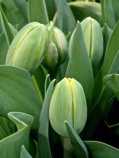 Flowers Flower Tulips🌷 Tulipan Tulpen Tulip Kaukenhof Holand Holandia