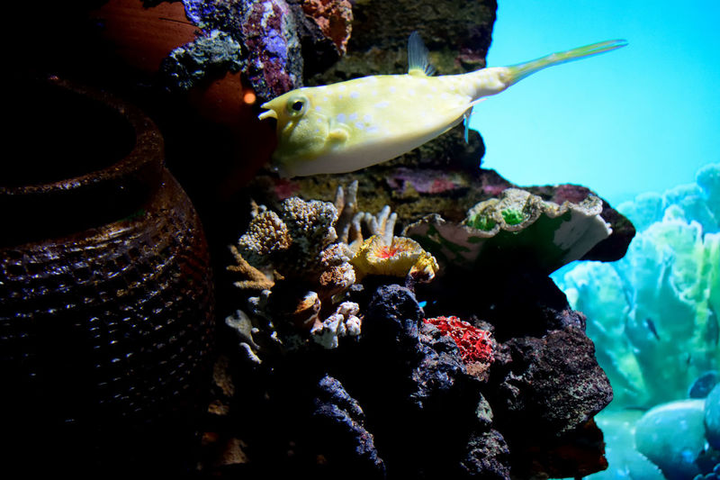 Underwater animals in the wild Fish Corals One Animal Water Nature UnderSea Swimming Aquarium Beauty In Nature outdoorye Yellow Cowfish People Day Scuba Diving Colorsoflife Aquarium Life Aquaria Klcc Animal Themes Sea Life Animals In The Wild Close-up Outdoors