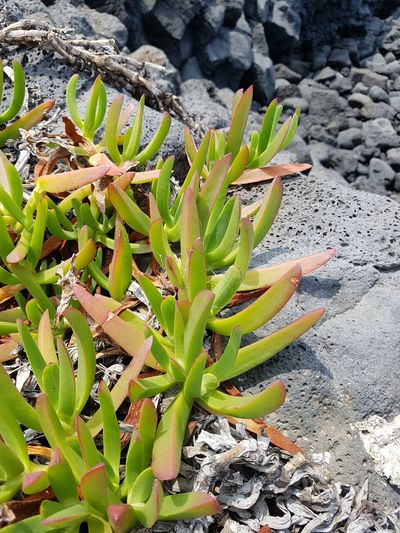 unknown plants at the beach EyeEm Gallery Summertime JEJU ISLAND  Prickly Pear Cactus Cactus Sunlight Close-up Plant Green Color Growing Young Plant