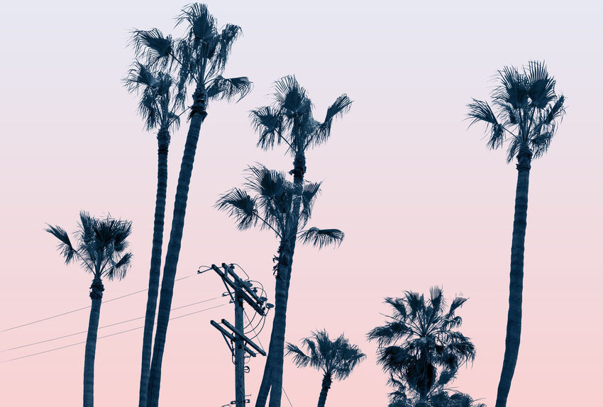 Palm Trees at Venice Beach, CA Beauty In Nature Clear Sky Coconut Palm Tree Growth Low Angle View Nature No People Outdoors Palm Leaf Palm Tree Plant Scenics - Nature Silhouette Sky Sunset Tall - High Tranquility Tree Tree Trunk Tropical Climate Tropical Tree Trunk