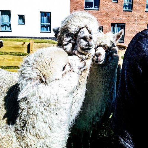 Alpaca Feeding Animals Animal Wild Close-up Experience Campus Student University Dundee Scotland First Eyeem Photo