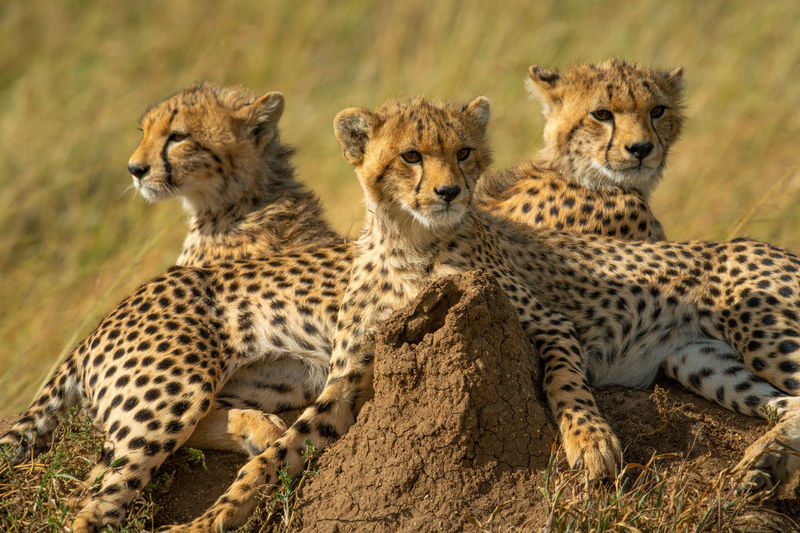 Close-up of three cheetah cubs behind mound