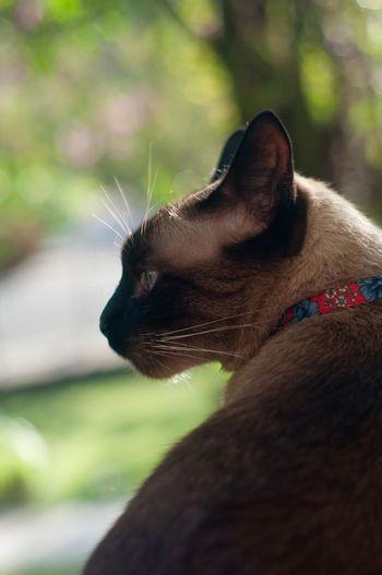 Close-up of siamese cat