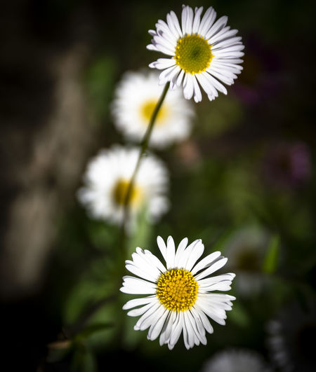 Gänseblümchen Flowering Plant Flower Freshness Plant Vulnerability  Fragility Petal Beauty In Nature Flower Head White Color Growth Inflorescence Daisy Close-up Pollen Focus On Foreground Yellow Nature Day White No People Outdoors Ordinary  Nature_collection EyeEm Nature Lover