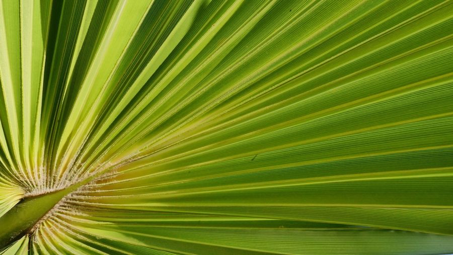 Leaf Green Color Plant Part Beauty In Nature Palm Leaf Plant Growth Backgrounds No People Tropical Climate Close-up Nature Palm Tree Full Frame Tree Freshness Sunlight Pattern Natural Pattern Environment