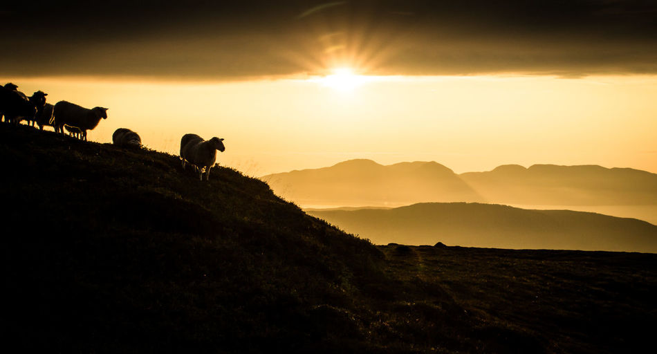 Sheep On Silhouette Landscape At Sunset