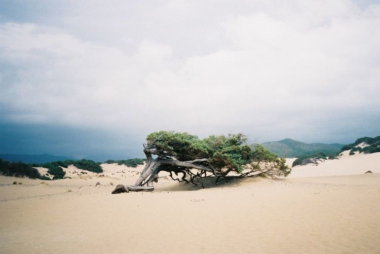 Twisted tree on sand dune in desert against cloudy sky