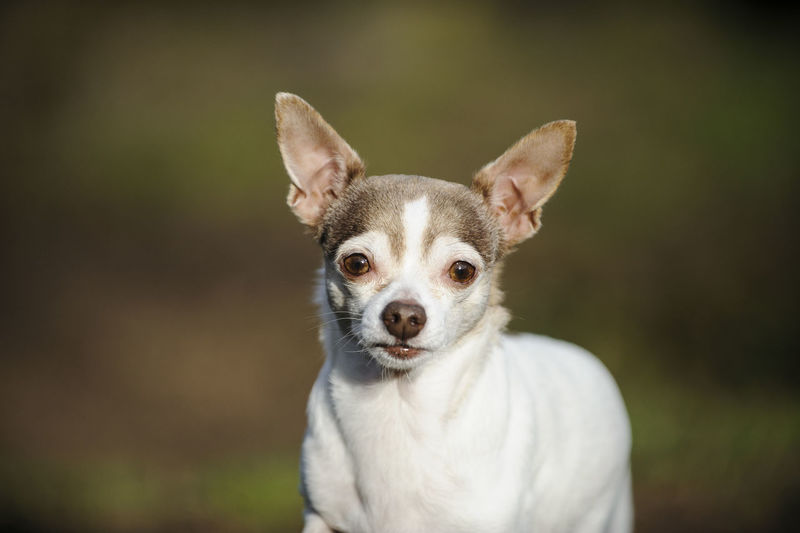 Portrait Of Chihuahua Dog